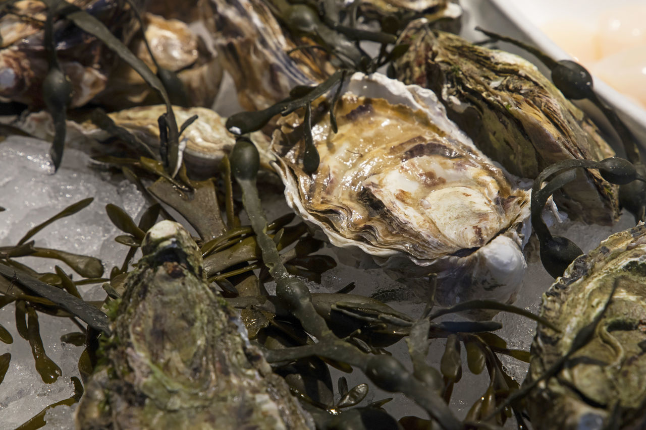 Fresh catch of oysters on ice with seaweed Catch Catch Of The Day Close-up Day Display Fishermanvillage Food Fresh Healthy Eating High Angle View Ice Ingredients Market On Ice Oysters Retail  Retail Display Sea Weed  Seafood Seaside Seaweed Selection Shell Store The Shop Around The Corner