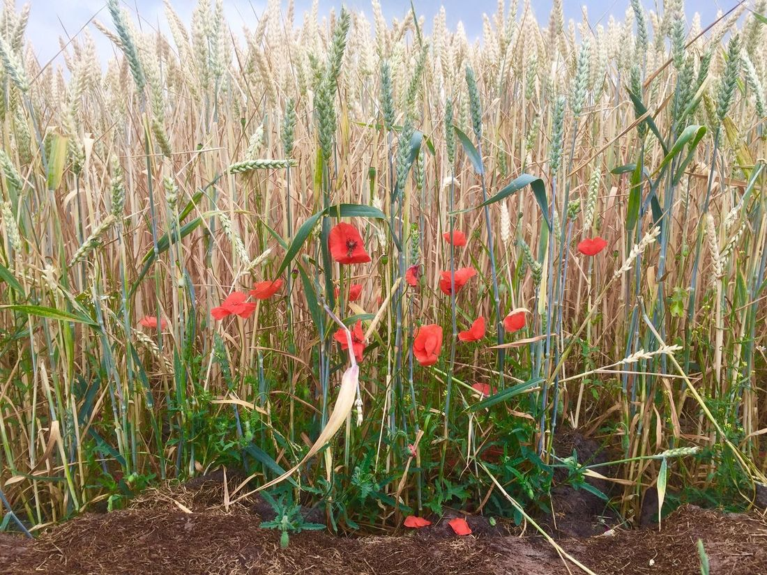 Growth Field Red Nature No People Plant Tranquility Grass Day Outdoors Beauty In Nature Sky