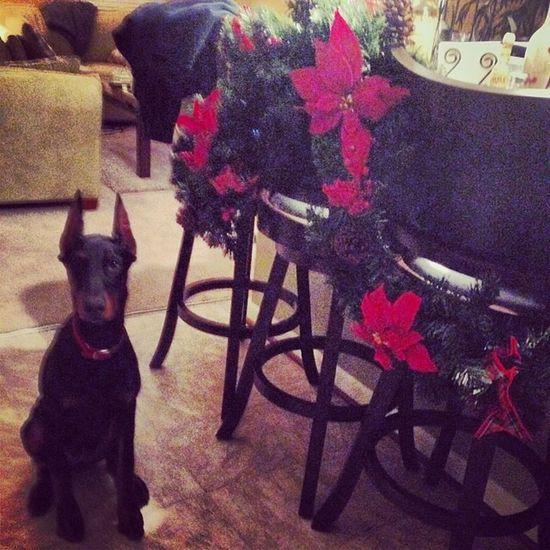 cutttest babyyy ever!!!! Puppy Dobe Adorbs Loveher holiday