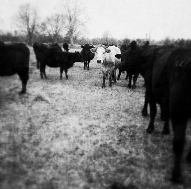 Cows Nature_collection Point Of View EyeEmBestPics B&w Photography B&W Obsession You Looking At Me????? Beefy Beefsteak Picturing Individuality