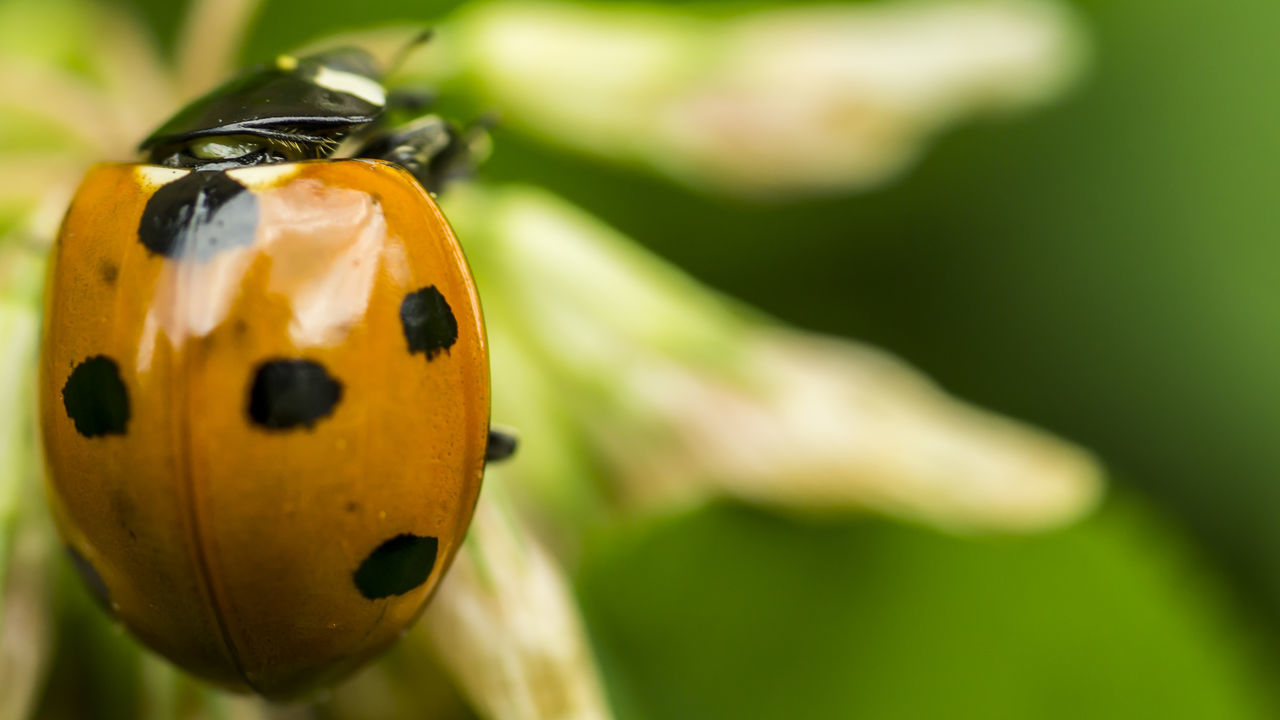 insect, ladybug, one animal, animal themes, animals in the wild, close-up, no people, focus on foreground, tiny, animal wildlife, day, outdoors, nature