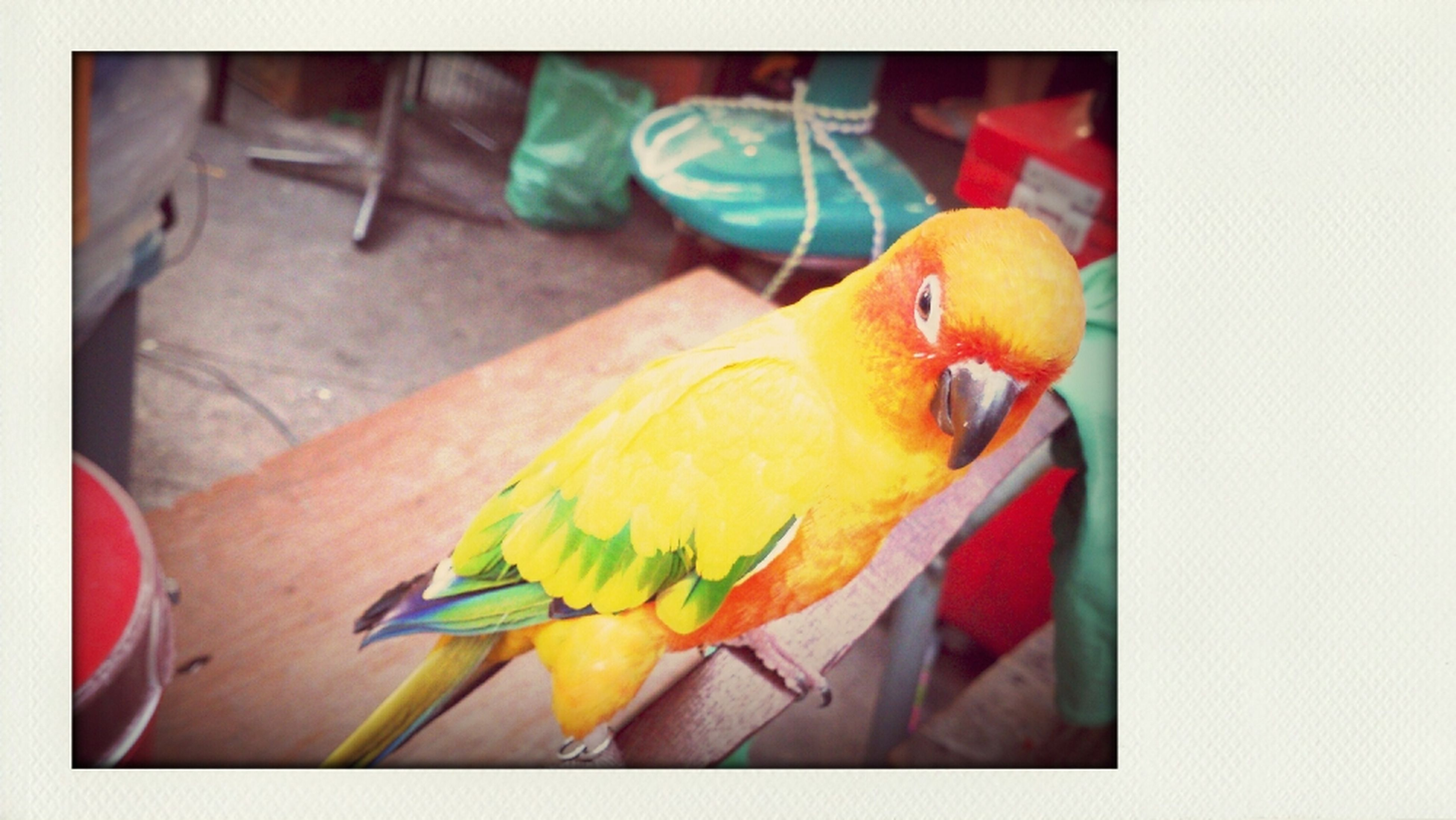 animal themes, transfer print, bird, one animal, auto post production filter, multi colored, yellow, wildlife, indoors, animals in the wild, wood - material, food, parrot, close-up, perching, food and drink, no people, table, full length, day