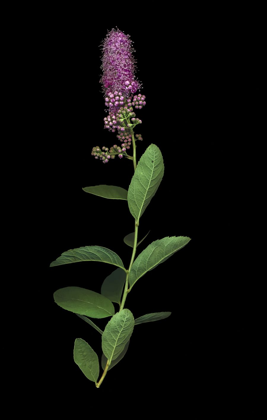 Beauty In Nature Black Background Canoscan 9000f Flower Flowering Plant Green Color Leaf Nature Scanner  Millennial Pink Art Is Everywhere
