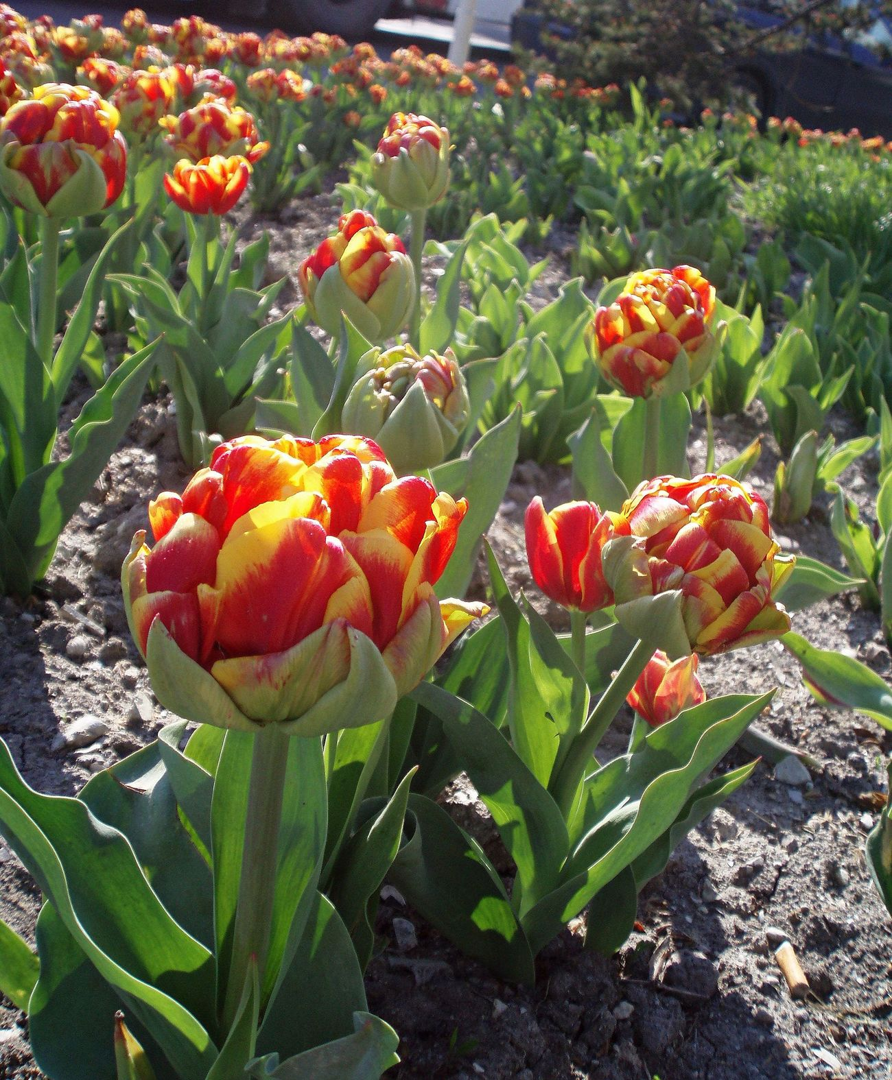 Cilesta Flower Bed Flowers Novorossiysk Tulips Spring Spring Flowers Tulips Yellow & Red Striped Tulips