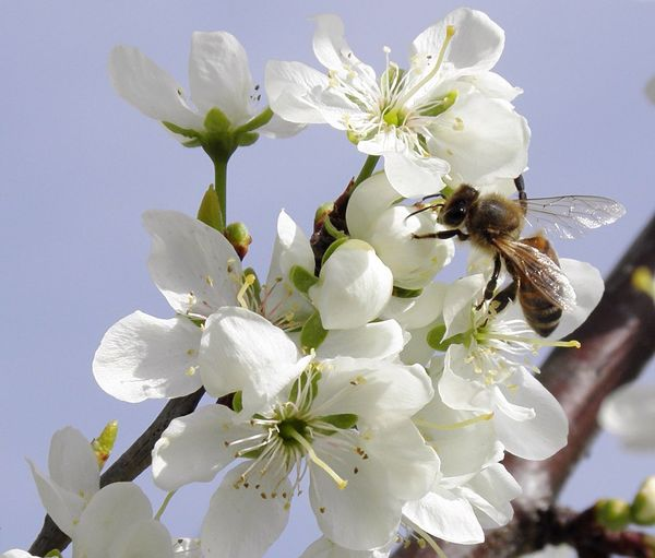 Apis Mellifera Sky Background Bee On The Flower Bee And Flower Flower Head Bee 🐝 Honey Bee Honey HoneyBee Springtime Plum Blossom Branch Branches And Sky Pollination Ecosystem  Protectedspecies Fragility Pollinators Flower White Flower Simplicity Bee One Animal Insect Insect Photography EyeEmNewHere