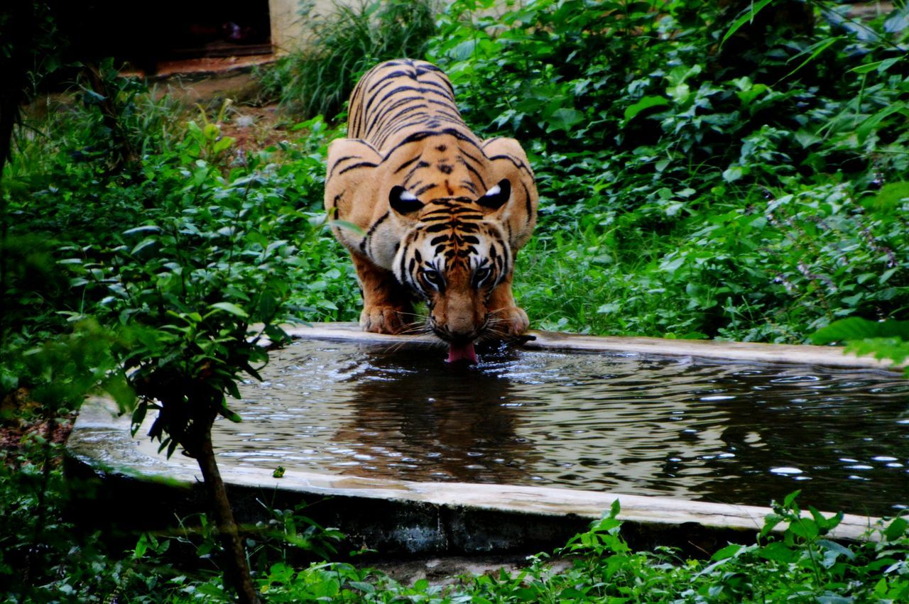 one animal, tiger, animals in the wild, water, animal themes, drinking, nature, animal wildlife, plant, mammal, outdoors, day, white tiger, no people