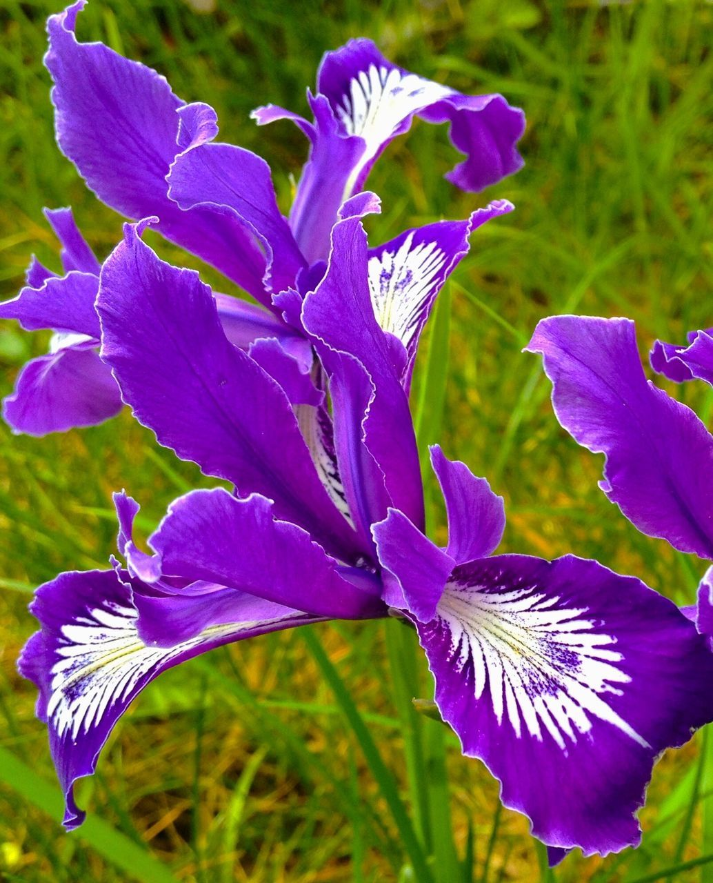 flower, growth, purple, petal, nature, beauty in nature, plant, fragility, no people, freshness, blooming, outdoors, close-up, iris - plant, day, flower head