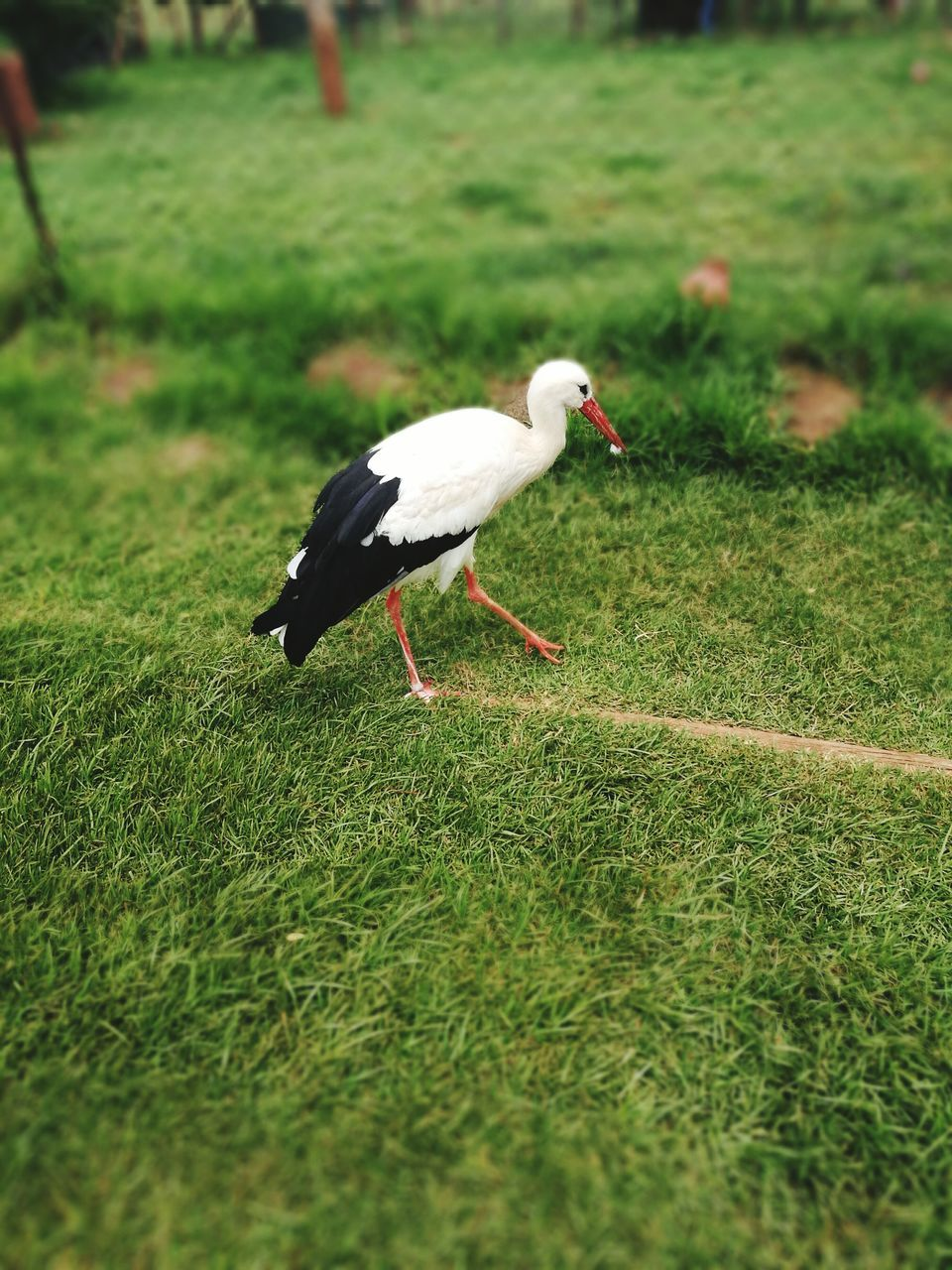grass, animal themes, bird, one animal, animals in the wild, field, day, nature, animal wildlife, outdoors, no people