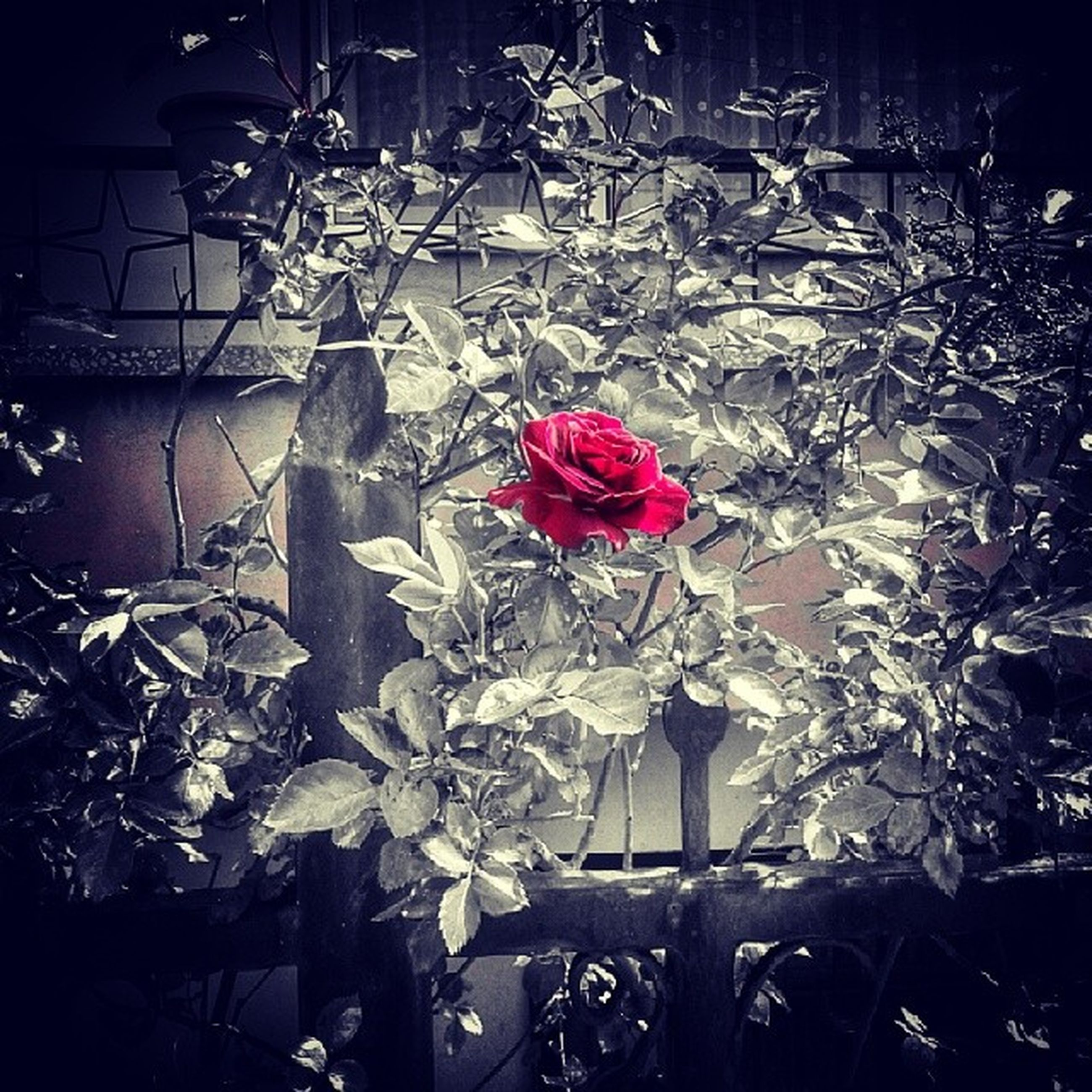 flower, petal, fragility, plant, decoration, rose - flower, flower head, close-up, leaf, indoors, nature, freshness, growth, stem, no people, hanging, beauty in nature, wall - building feature, red, blooming