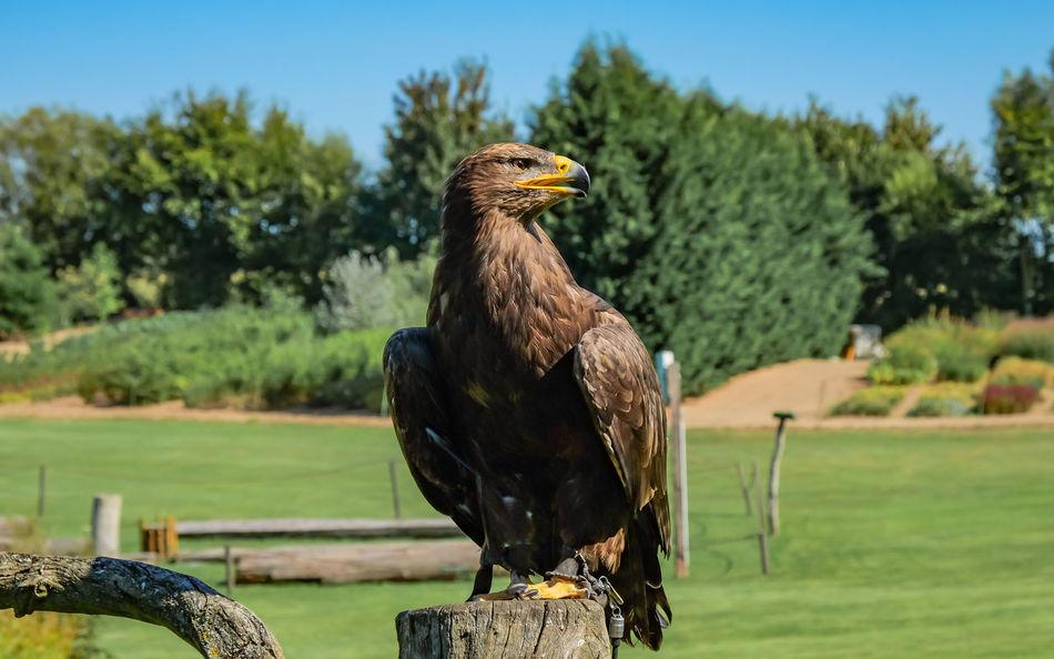 Beautiful stock photos of eagle, Animal Themes, Animal Wildlife, Animals In The Wild, Bird
