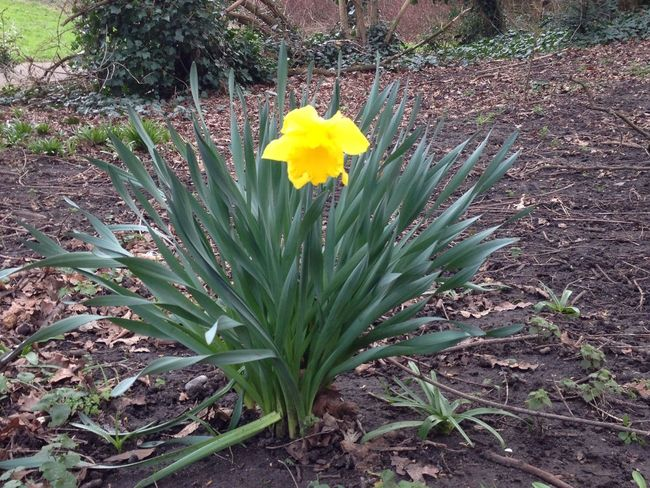 Spring Daffodils LONDON❤ Walking