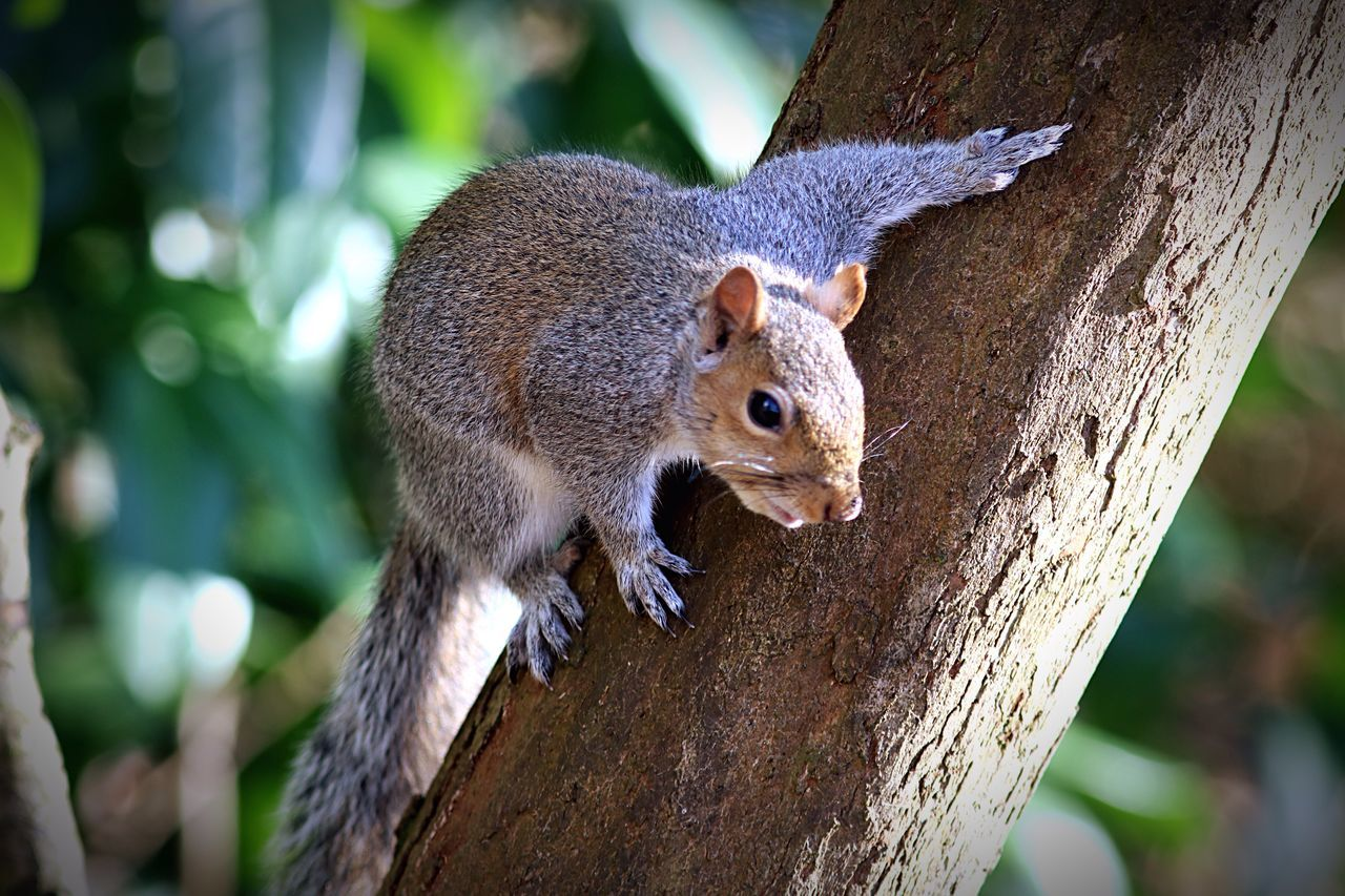one animal, squirrel, animal themes, animals in the wild, mammal, animal wildlife, tree, focus on foreground, day, tree trunk, outdoors, no people, nature, close-up