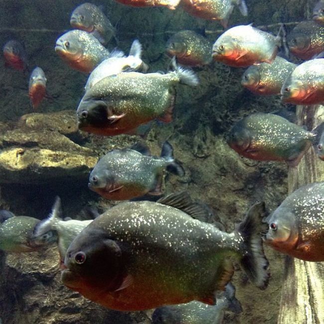 Fishes Fish Piranhas Predators Beautiful Photo Photography Water Aquarium Nofilter Moment Instafoto Instagood Instaphoto Instamoment