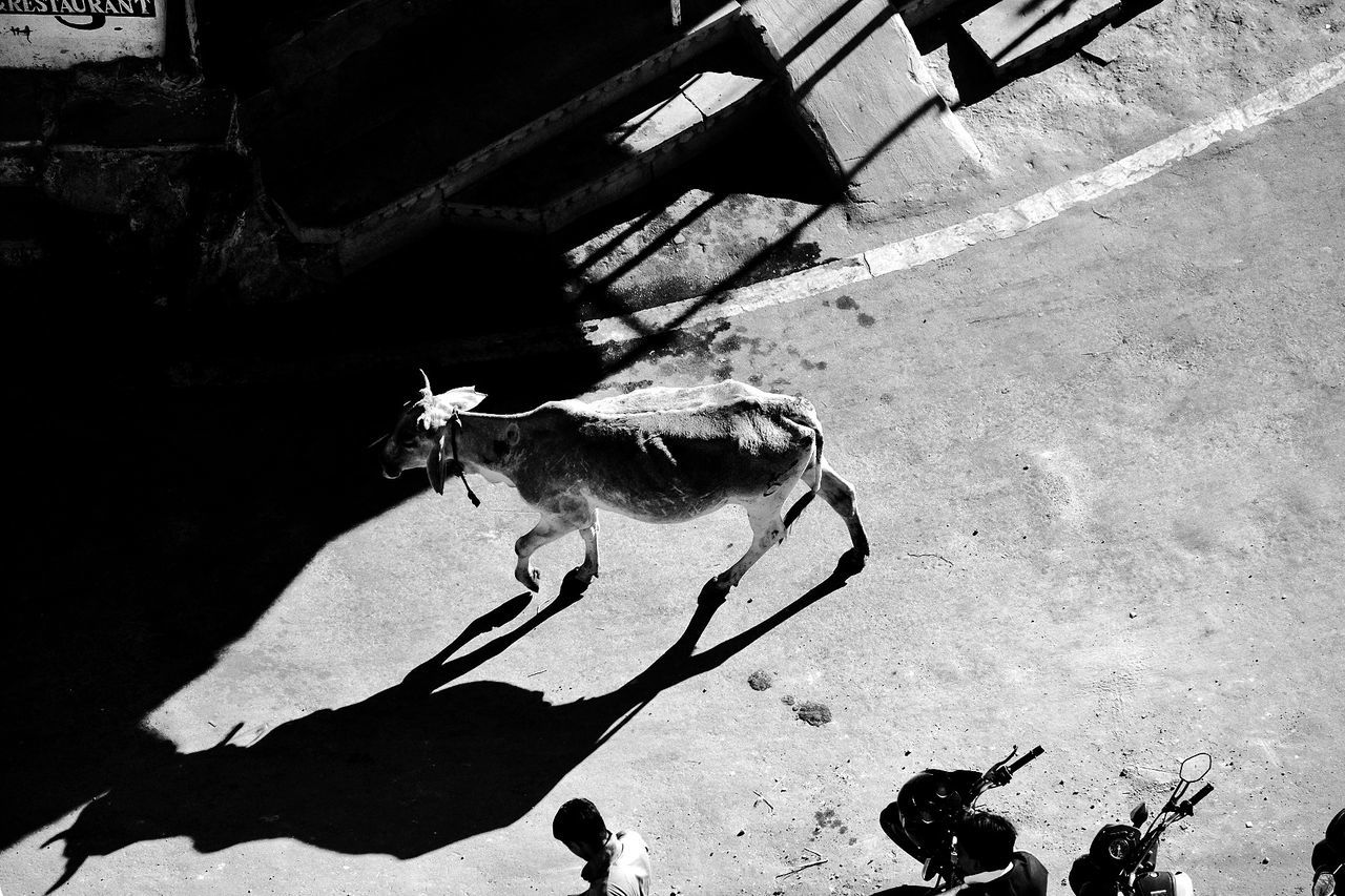 Free Life cow - on the streets of Jaisalmer, India. The City Light Shadow Sunlight Street Life EyeEm Travel Photography Travel Photography Street Photography Streetphotography Fujifilm_xseries High Angle View Travel Destinations See The World Through My Eyes Travelmemories