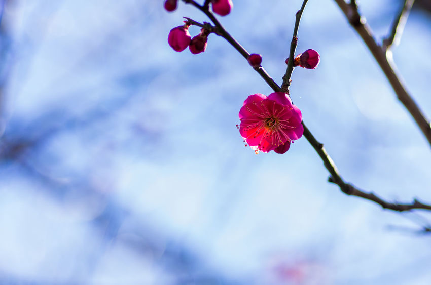 Beauty In Nature Branch Close-up Day Flower Flower Head Fragility Freshness Growth Low Angle View Nature No People Outdoors Petal Red Sky Springtime Tree Twig