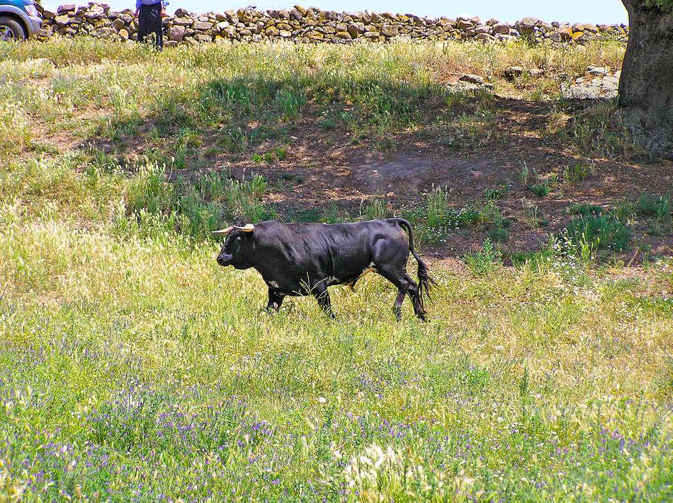 Animal Themes Animals Bull Bulls Cattle Cow Cows Dangerous Animals Day Dehesa Domestic Animals Environment Field Grass Livestock Mammal Nature No People One Animal Outdoors Powerful Toro Toros Wildlife