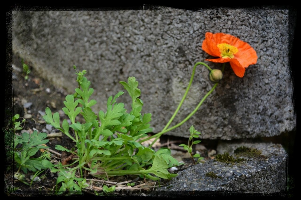 flower, growth, plant, no people, outdoors, fragility, nature, day, freshness, beauty in nature, flower head, close-up