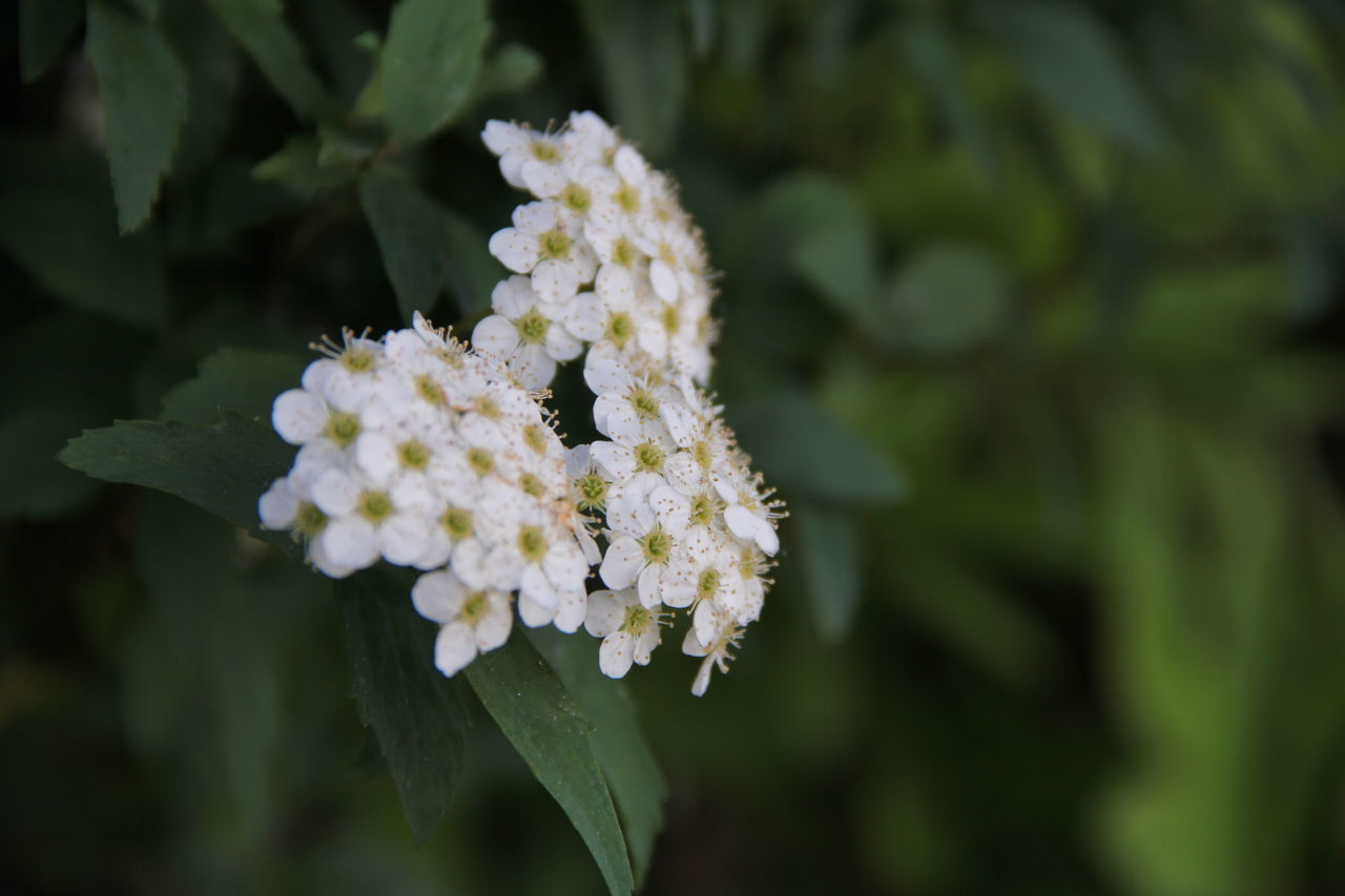 flower, nature, growth, beauty in nature, plant, fragility, green color, day, freshness, no people, focus on foreground, petal, close-up, outdoors, leaf, blooming, flower head, lantana camara