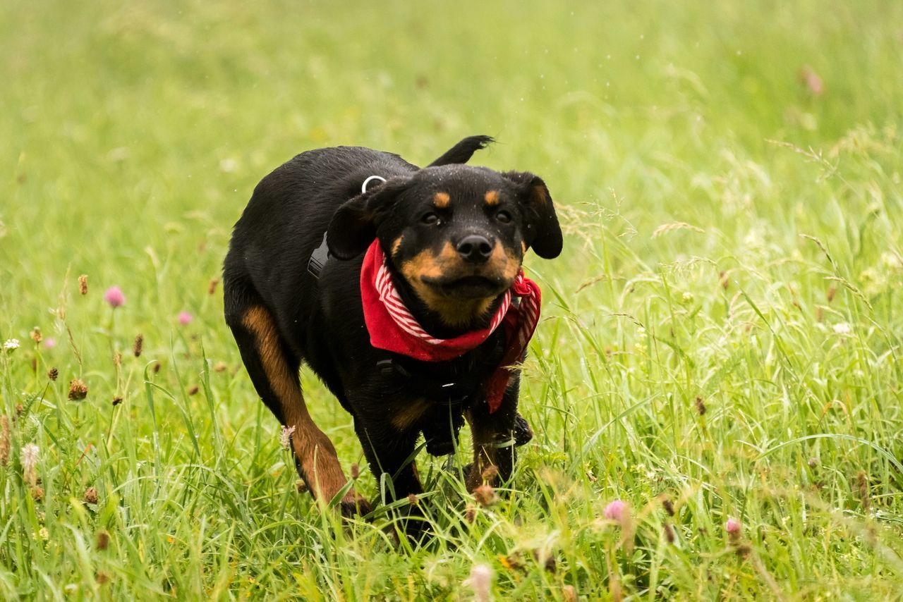 Beautiful stock photos of rottweiler, Animal Themes, Black Color, Cute, Day
