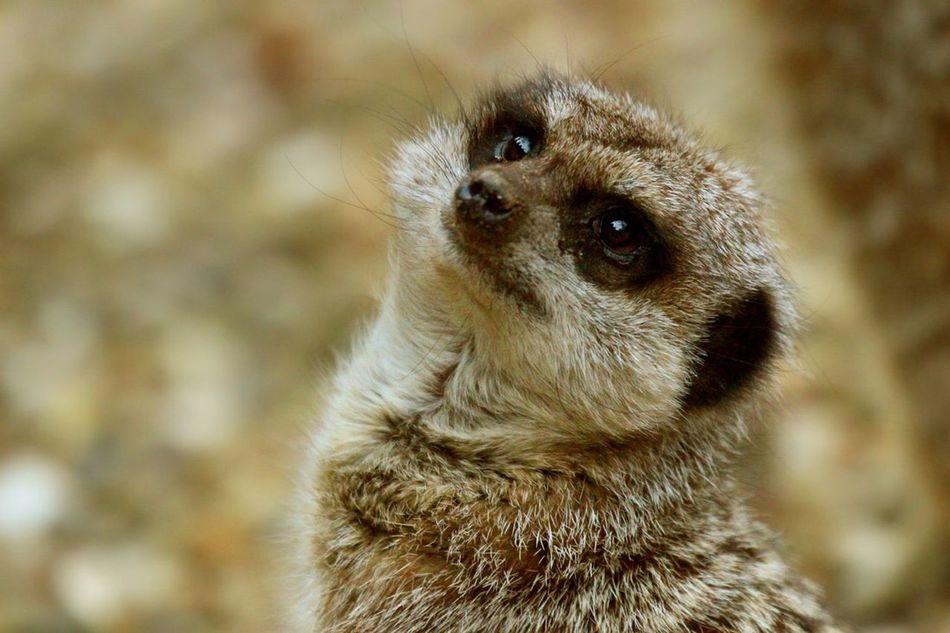 Meerkat Animals In The Wild Meerkats One Animal Mammal Close-up Meerkat Cute