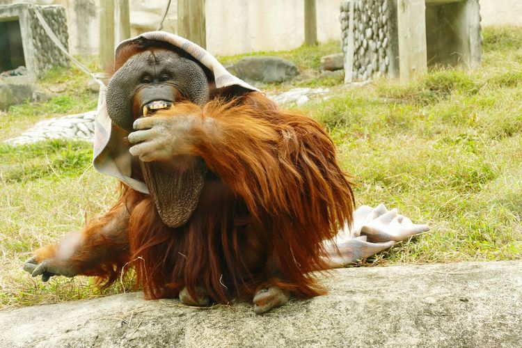 During the cold spell, the orangutan wraps up in blanket to keep warm at lunchtime. Orangutan Primates Monkey Face Pongo Mammal Animals Eat Cold Weather Animal Themes