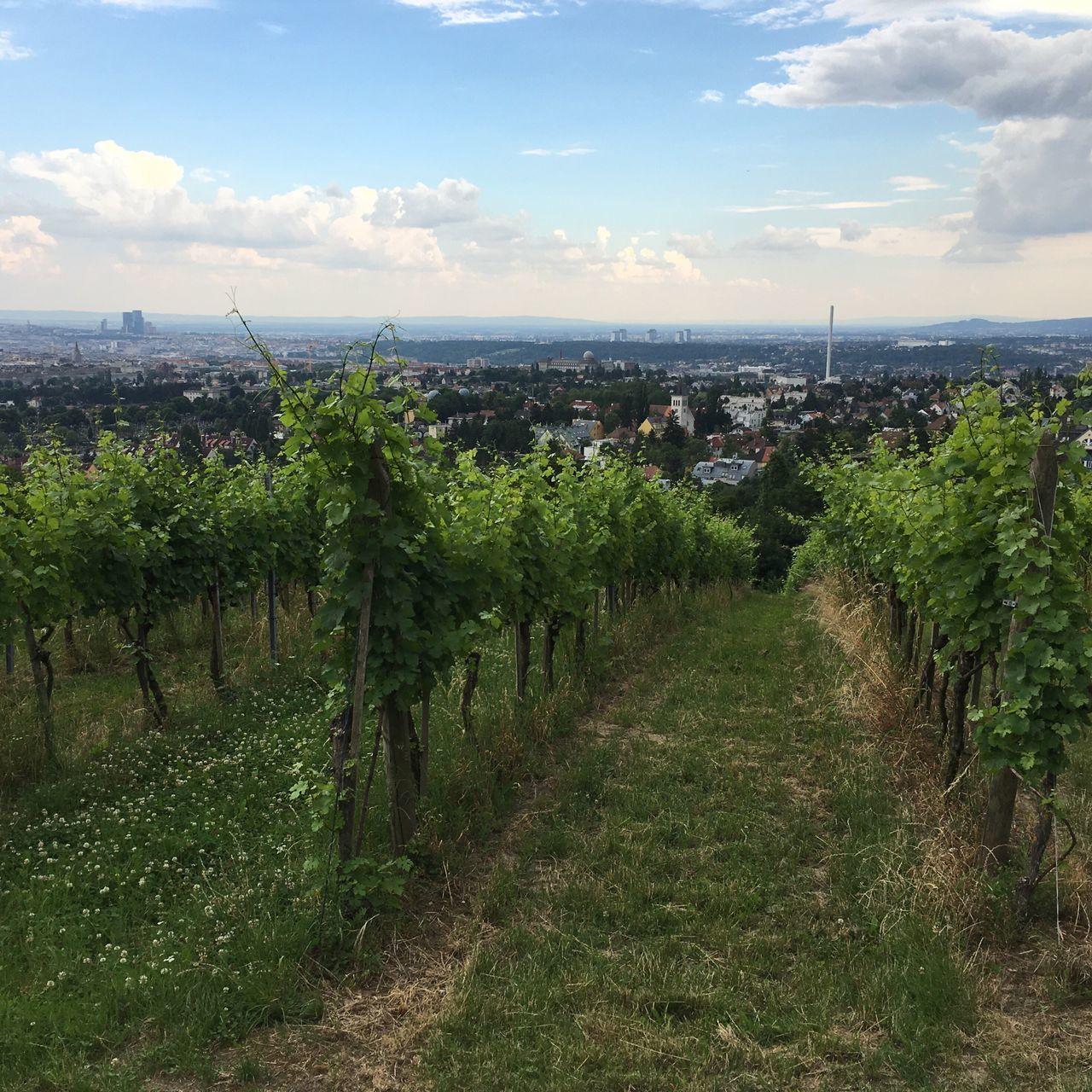 Viennese Wine Viennese Vineyards Vineyard