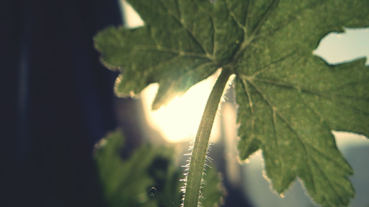 Leaf Close-up Plant Nature No People Day Indoors  Fragility Beauty In Nature Tree Green Color Branch Maple Leaf Herbal Medicine Healthcare And Medicine Plant Part Russia EyeEm Low Angle View Freshness Beauty In Nature Outdoors Plant Growth Nature