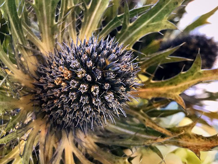 Flower Nature Plant Growth Day Close-up No People Outdoors Fragility Flower Head Beauty In Nature Leaf Thistle Freshness Passion Flower Spikes Green Color Sunlight Bloomberg Building Indoors  Focus On Foreground