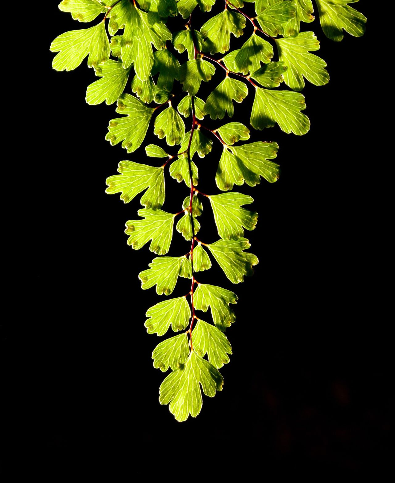 Black Background Leaf Green Fern Botany Glow Glowing Glow In The Dark Leaves Nature Nature Close-up Freshness No People