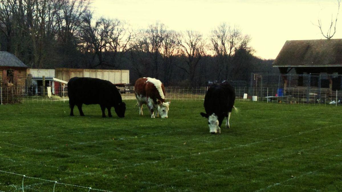Fresh grass Cows!!!