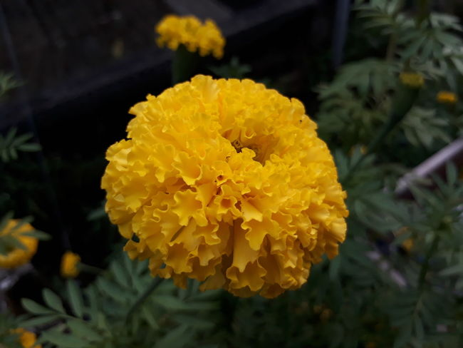 ด อ ก ด า ว เ รื อ ง Yellow Flower Outdoors Freshness Beauty In Nature Flower Head Nature No People Star Flower