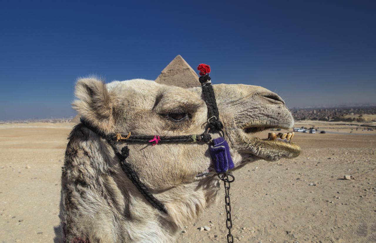 Beautiful stock photos of einhorn,  Animal Themes,  Camel,  Clear Sky,  Day