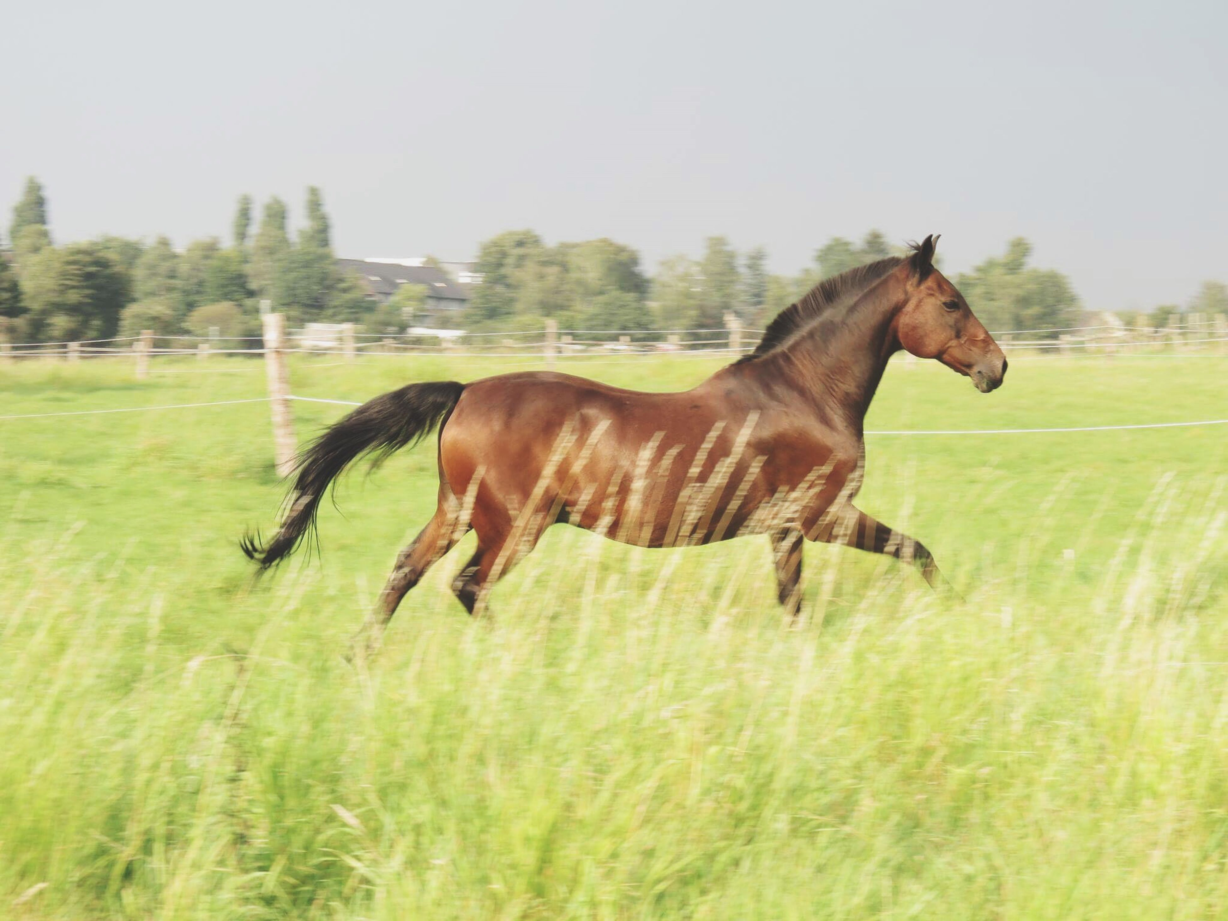 horse, animal themes, domestic animals, grass, side view, mammal, field, grassy, one animal, livestock, full length, clear sky, herbivorous, green color, day, nature, no people, zoology, animal hair, tranquility