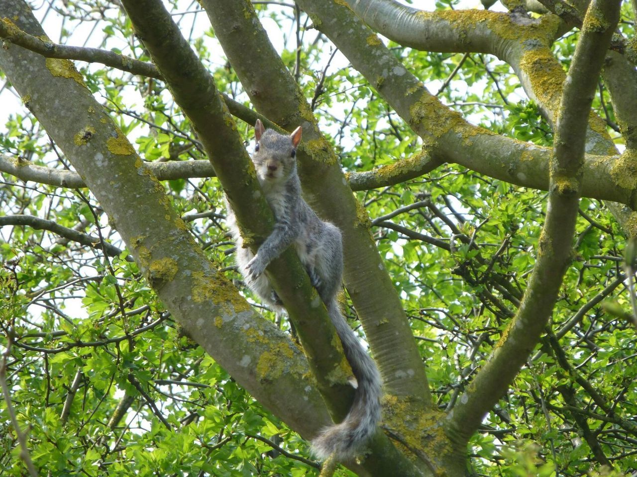 Squirrel Closeup Squirrels Grey Squirrel You Looking At Me????? Natural World Wildlife