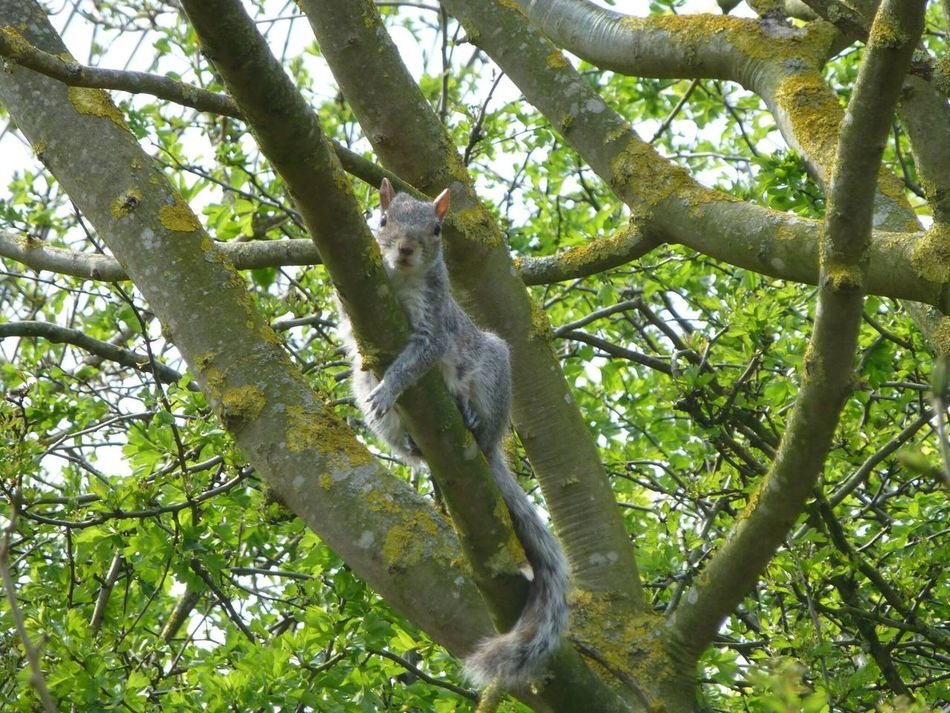 Squirrel Closeup Squirrels Grey Squirrel You Looking At Me????? Natural World Wildlife