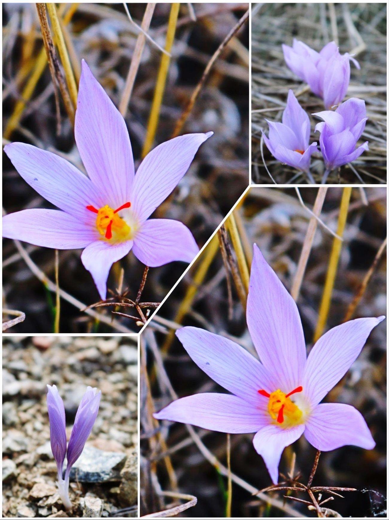 Bu Çiğdem çiçeklerini bir Çiğdem'in çektiği doğrudur 😎😎hasret giderdik 😂😂 Flowers Enjoying Life Flower Hello World 🙋🏼 Happy ☺️