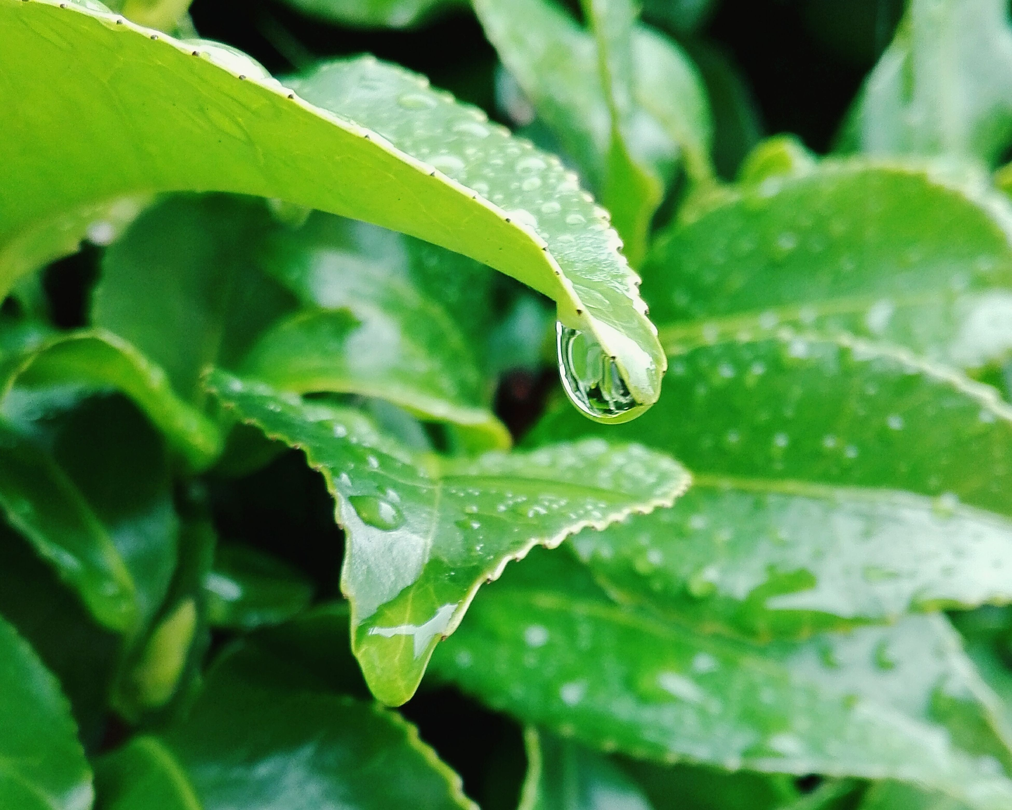 leaf, green color, drop, growth, close-up, plant, wet, water, freshness, leaf vein, nature, focus on foreground, beauty in nature, leaves, selective focus, green, dew, fragility, day, no people
