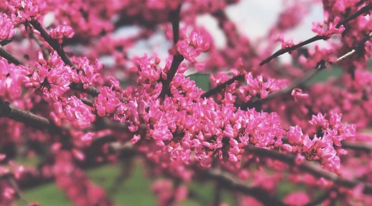 flower, growth, fragility, freshness, beauty in nature, blossom, nature, springtime, branch, tree, selective focus, pink color, no people, close-up, outdoors, day, flower head