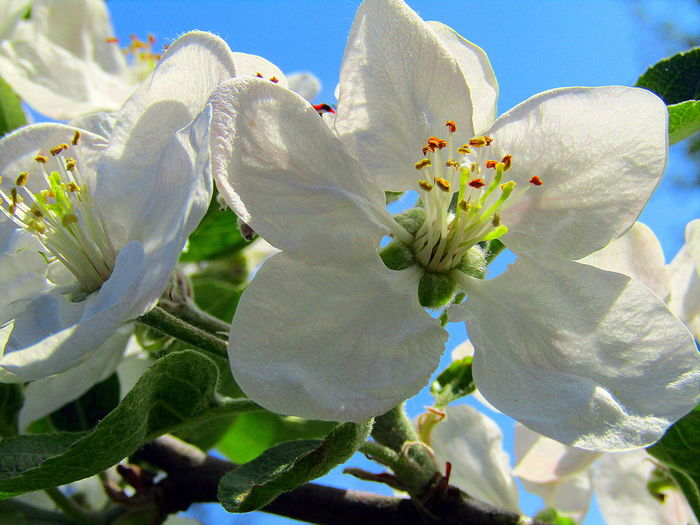 Beauty In Nature Close-up Outdoors Spring-2017--Apfelbaumblüt Sunlight White Color