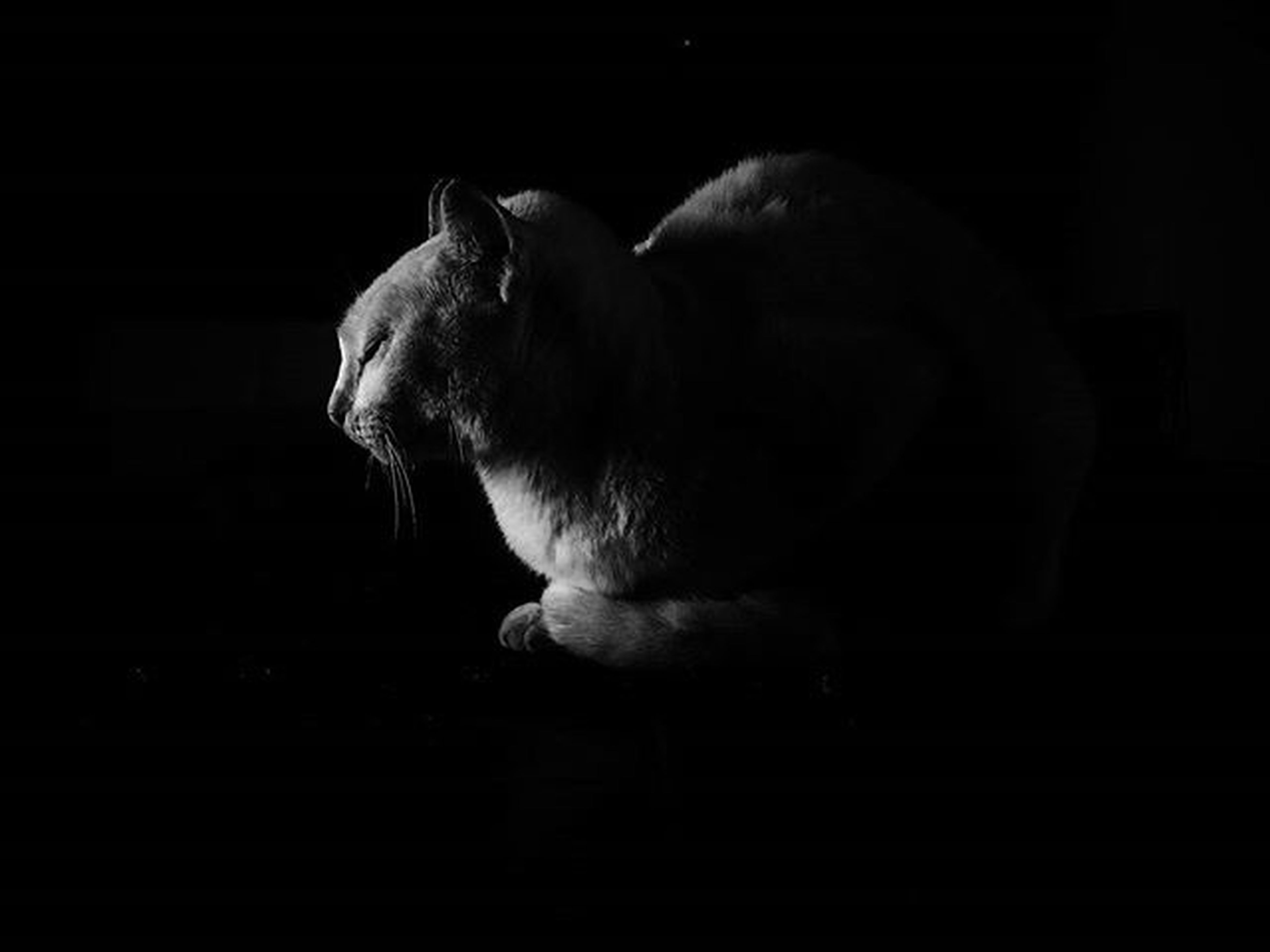 animal themes, one animal, side view, mammal, domestic animals, wildlife, indoors, night, full length, animals in the wild, black background, dark, close-up, pets, two animals, zoology, rear view, one person, studio shot, togetherness