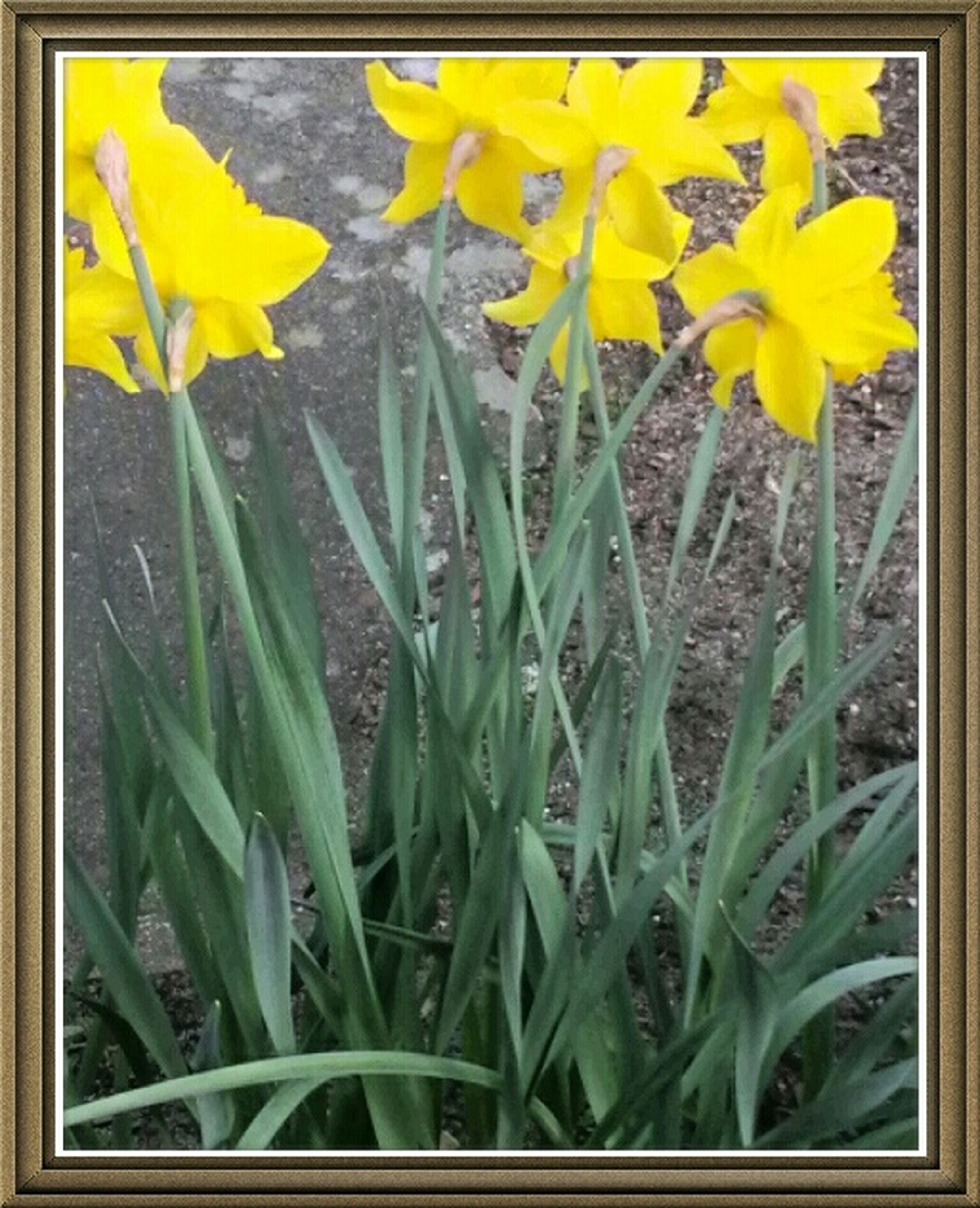 transfer print, flower, yellow, auto post production filter, fragility, growth, freshness, plant, petal, beauty in nature, nature, flower head, leaf, close-up, field, stem, blooming, day, outdoors, green color
