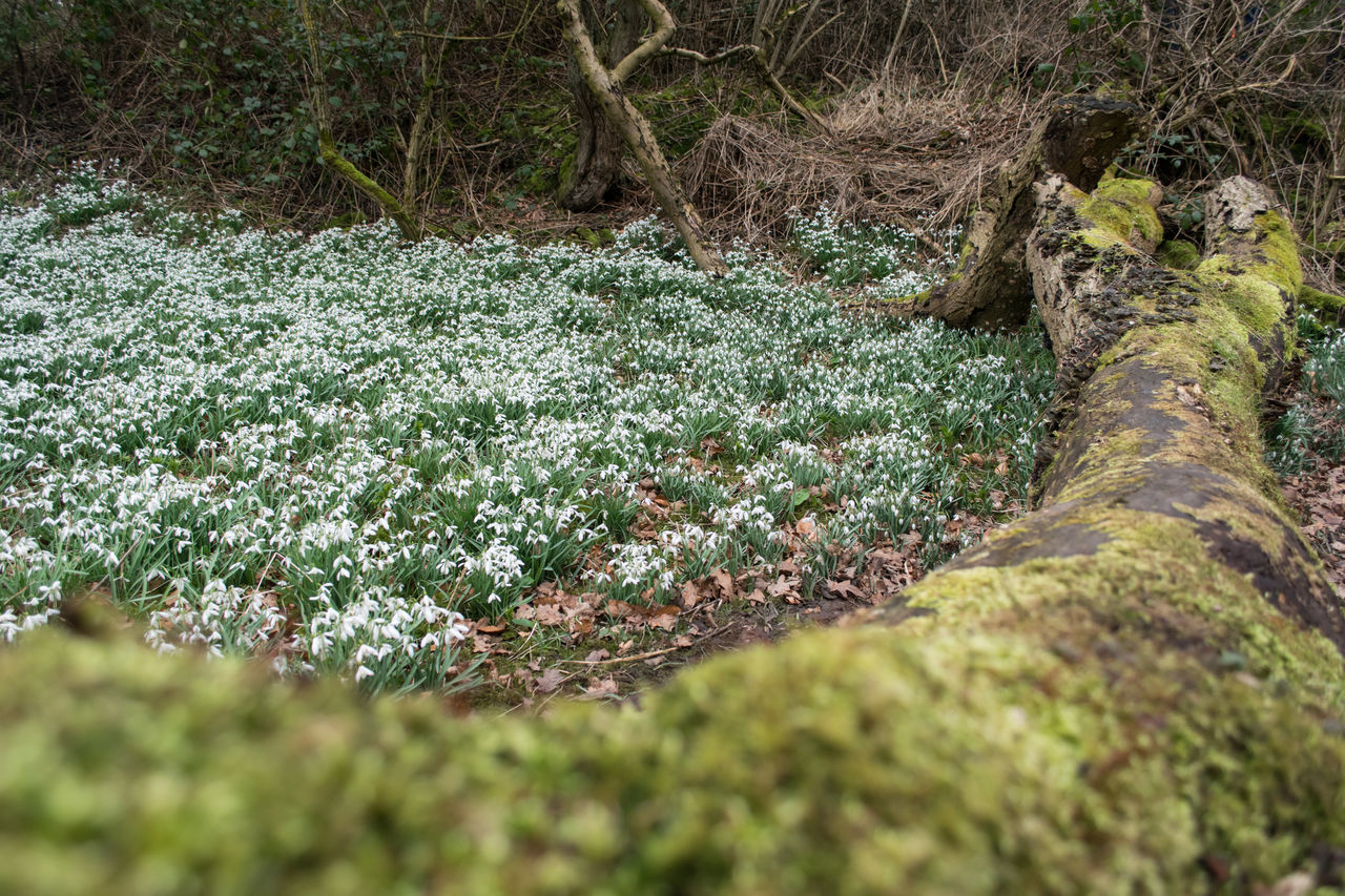 Snowdrops in woodland. Beauty In Nature Fallen Tree Flowers Nature Nature Photography Snowdropflower Snowdrops Snowdrops🌱 Tree Trunk WoodLand Woodlands