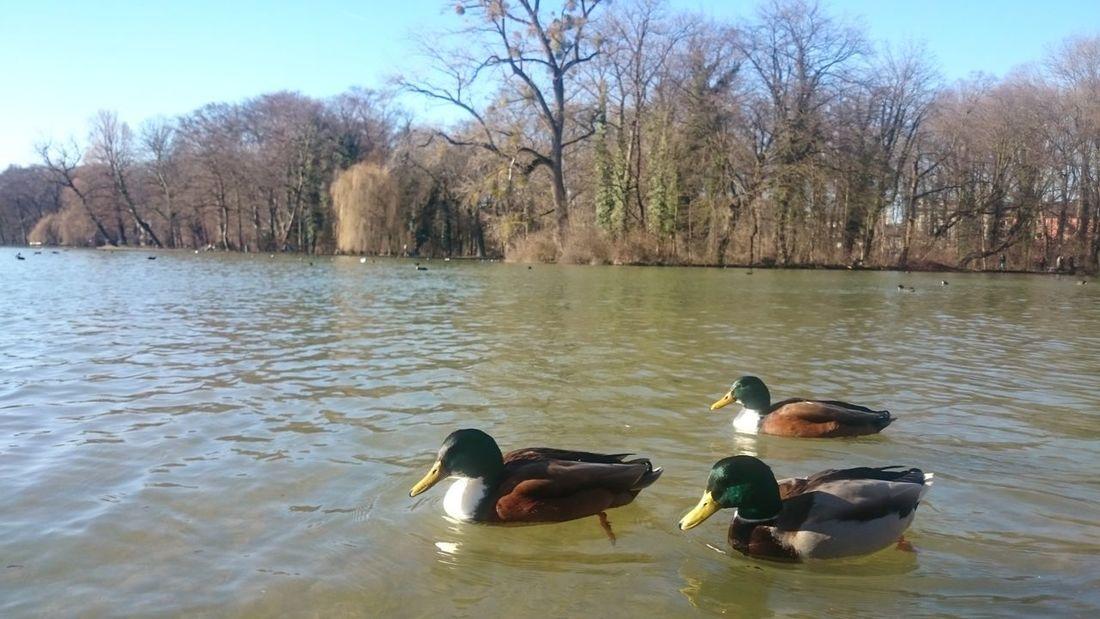 Animals In The Wild Duck Lake Sky Swimming Tree Water Water Bird