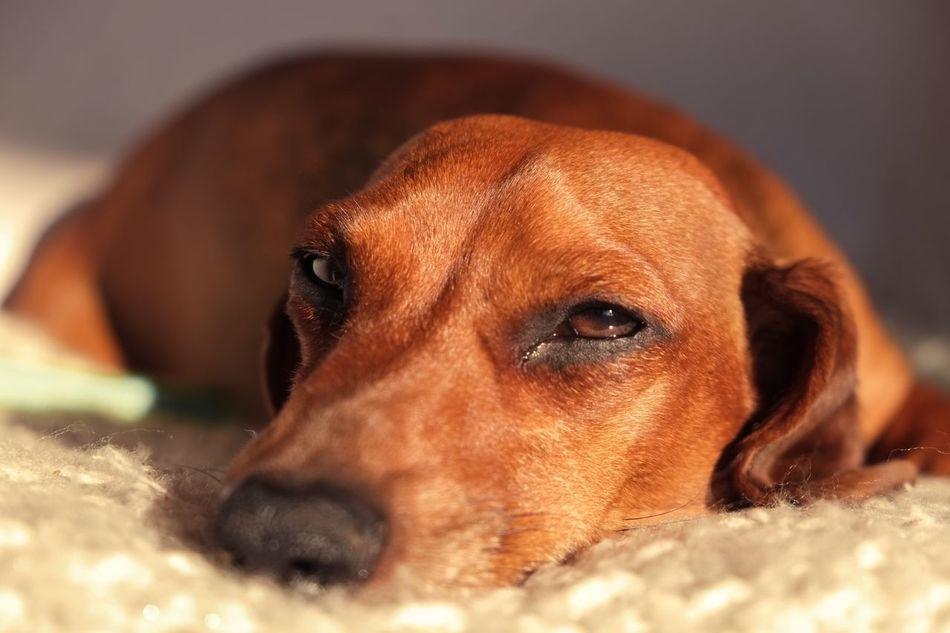 Beautiful stock photos of hunde, Animal Themes, Brown, Close-Up, Dachshund