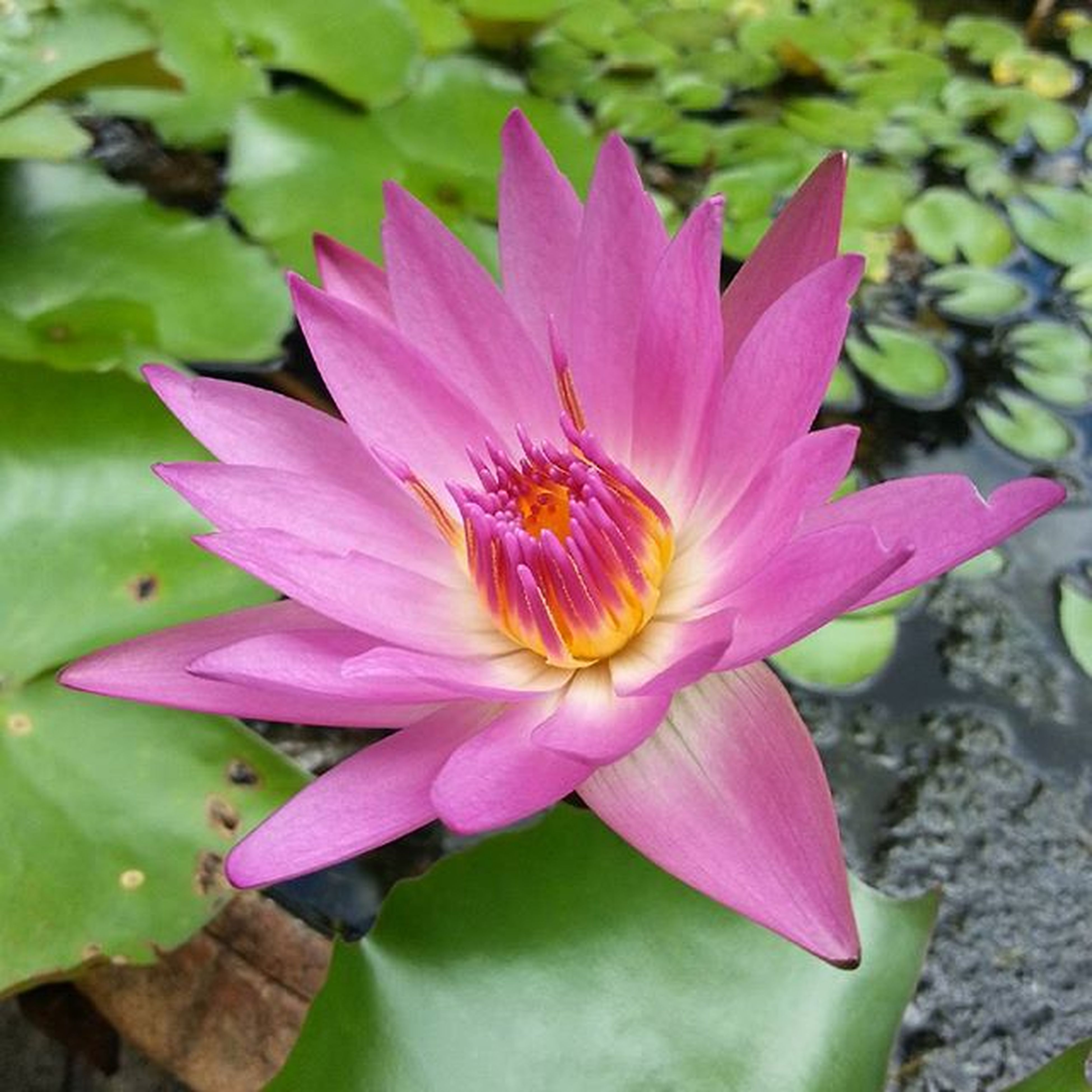 flower, petal, freshness, fragility, flower head, pink color, water lily, growth, beauty in nature, leaf, single flower, pond, nature, close-up, plant, blooming, lotus water lily, water, in bloom, focus on foreground