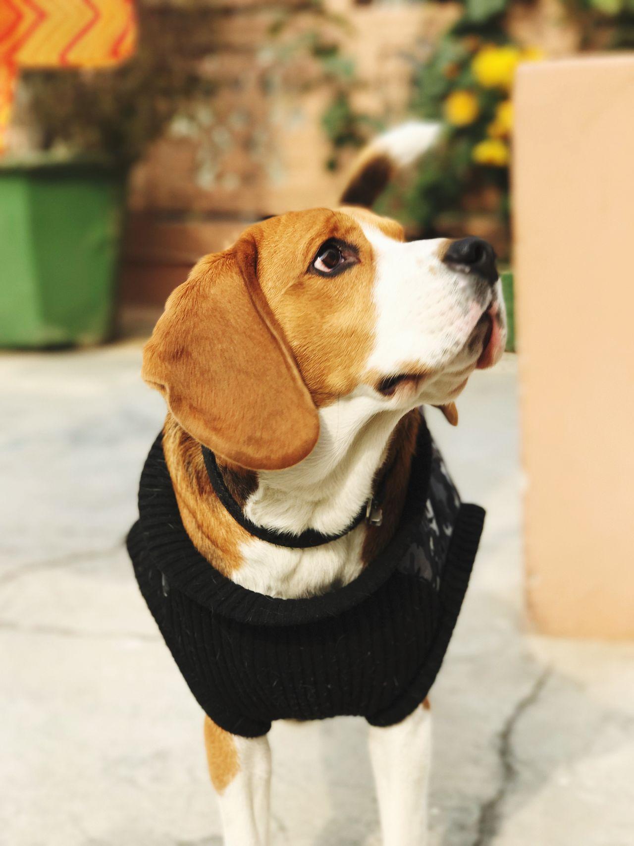 Beagle Dog Blur Potrait Potrait_photography Potraitofadog Puppy EyeEm Selects Pet Portraits