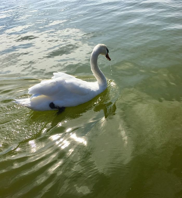 Beautiful swimming swan.... Animal Themes Swan Animals In The Wild Water One Animal Lake Bird Day High Angle View No People Nature Swimming Outdoors Animal Wildlife