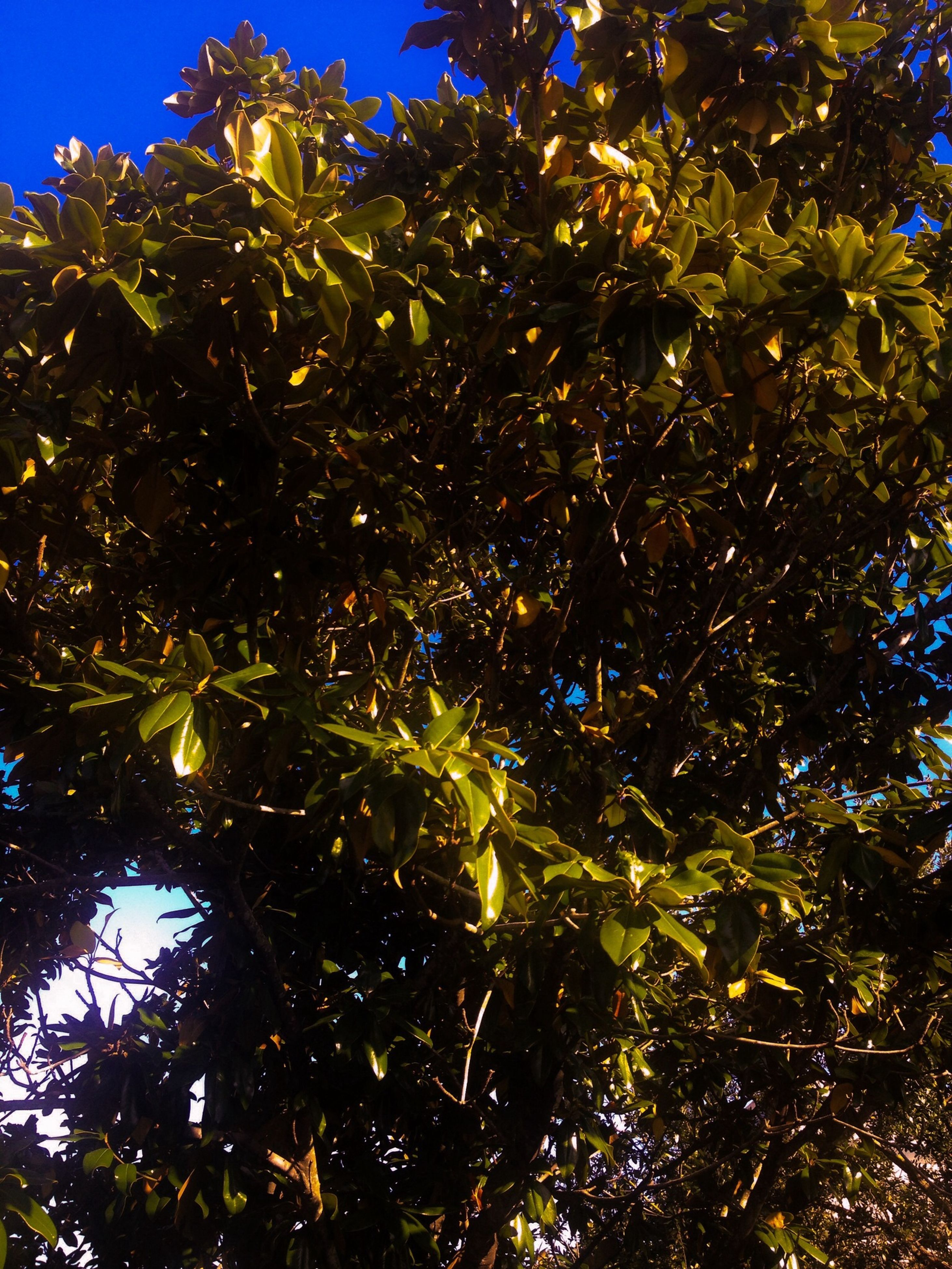 low angle view, tree, growth, blue, sunlight, branch, clear sky, nature, leaf, green color, beauty in nature, tranquility, sky, day, outdoors, no people, plant, sunny, freshness, green