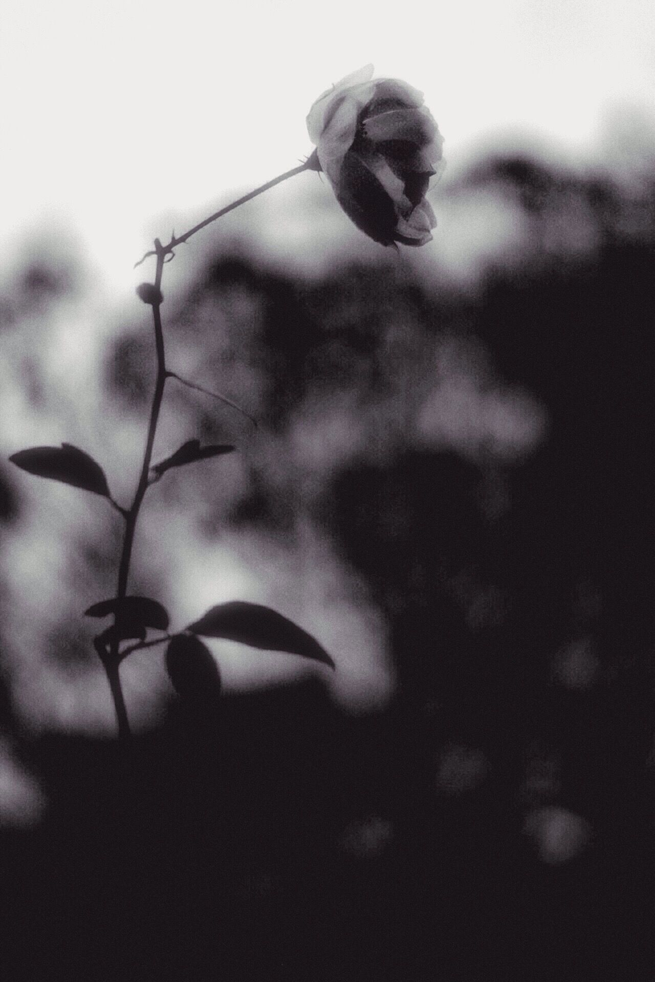 Flower Growth Fragility Nature Plant Day Freshness Outdoors No People Beauty In Nature Low Angle View Close-up Flower Head Blooming Wilted Desolate Hazy  Last Flowers Winter Blooms Afterdark Afterlight White Rose Monochrome Blackandwhite Serenity