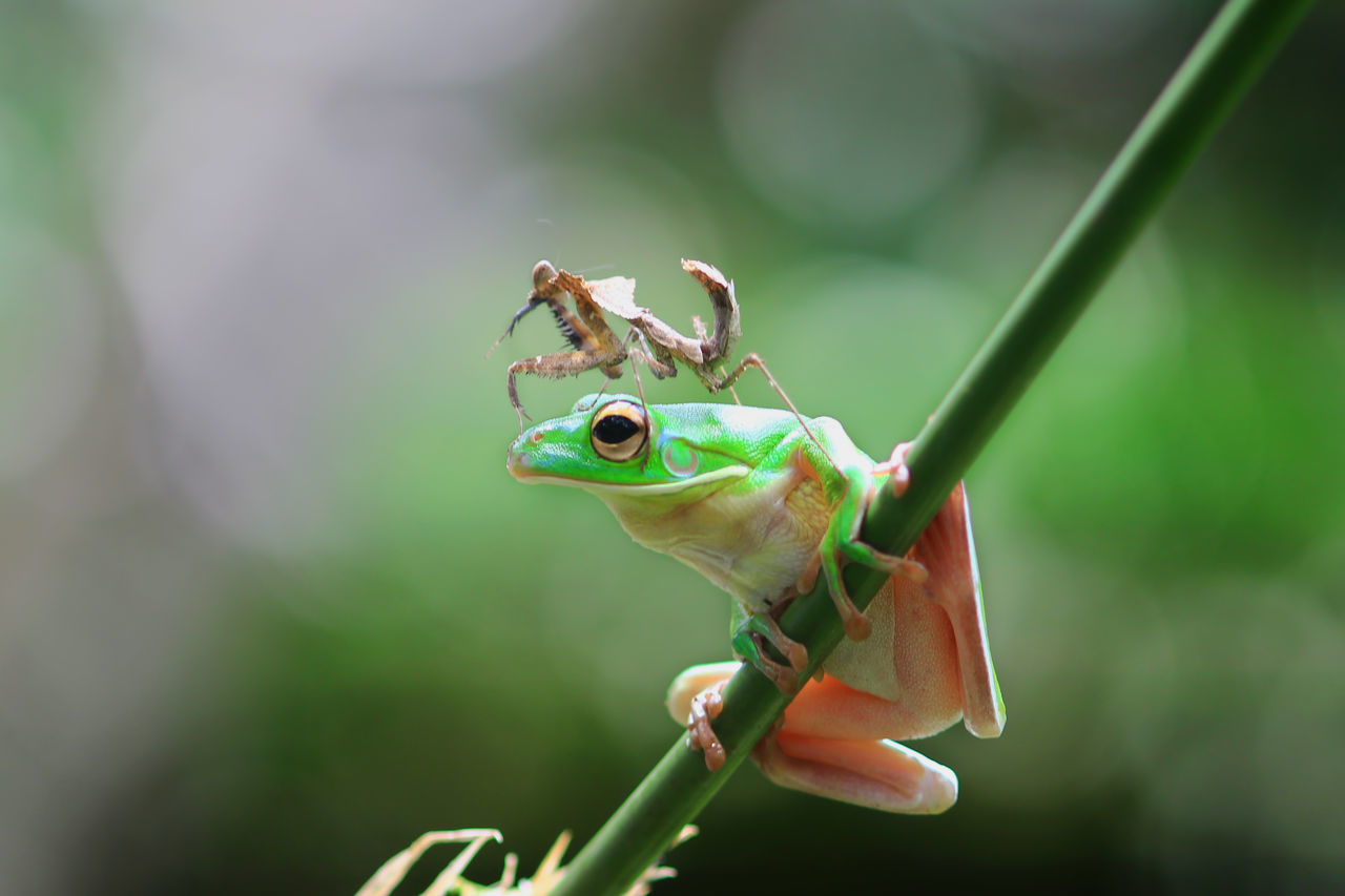 frog, mantis cobra, animal, macro, Animal Themes Animal Wildlife Animals In The Wild Close-up Day EyeEm Best Shots Frogs Green Color INDONESIA Insect Mantis Cobra Nature No People One Animal Outdoors Plant